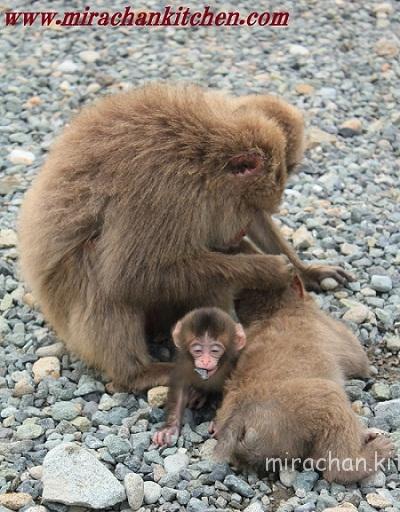 Đảo Khỉ Shimoda, Izu