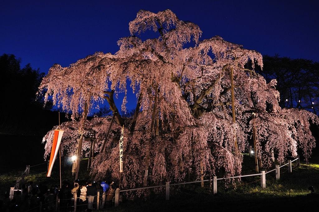 hoa anh đào Miharu Takizakura