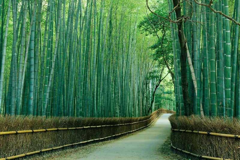 rừng tre nổi tiếng Arashiyama
