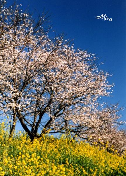 mùa xuân Nhật Bản