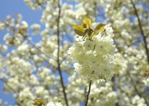 Có bao nhiêu loại hoa anh đào?