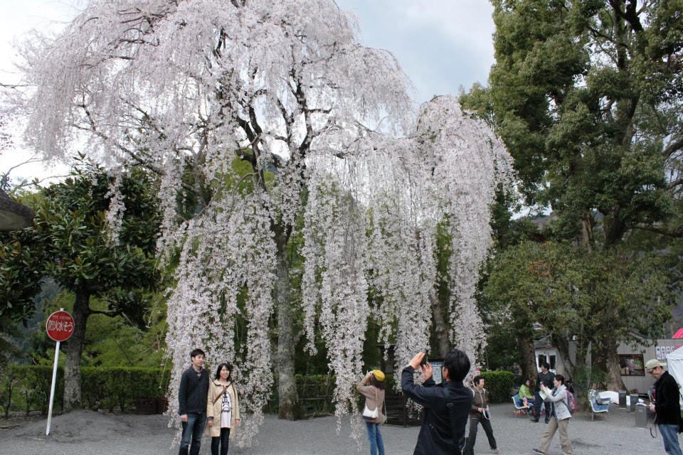 Hoa anh đào Shidare zakura