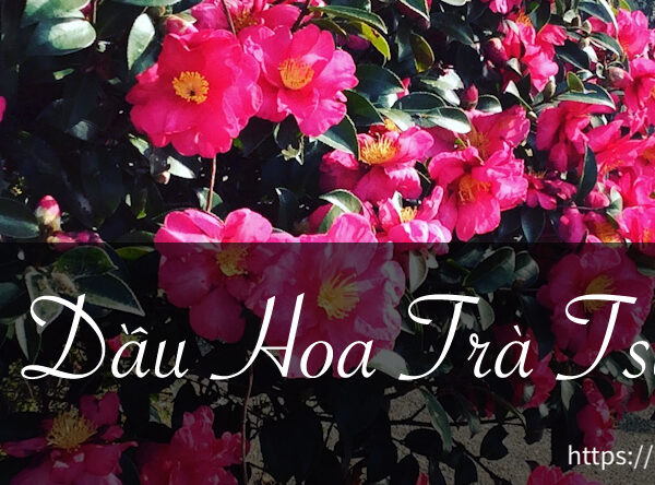 Tinh dầu hoa trà Camellia