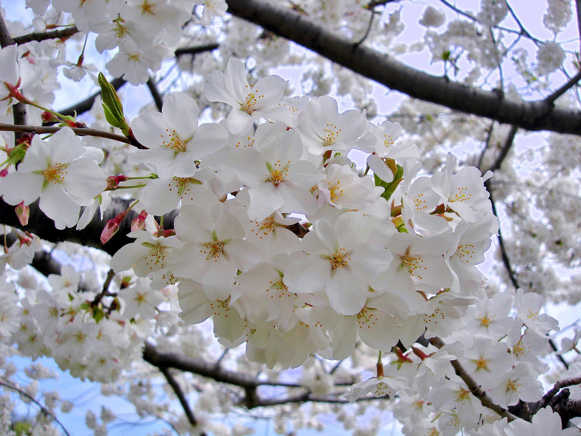 Hoa anh đào Nhật Bản Somei Yoshino